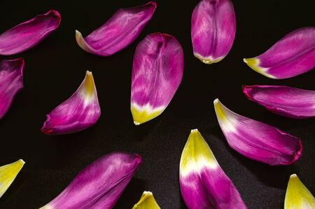 Black background with showered glossy large purple petals with a yellow center of holiday tulips