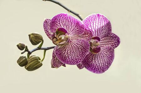 Blooming large flowers of purple with white stripes Phalaenopsis Orchid with buds on a light background