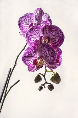 Branch with buds and large purple with white stripes flowers of the Phalaenopsis Orchid on a white background