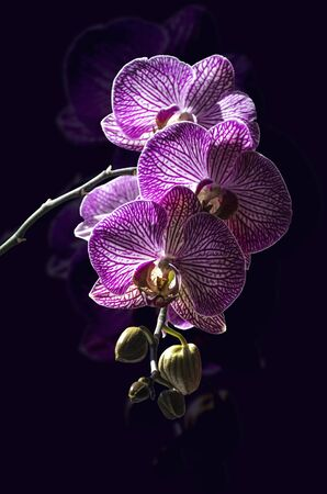 Dark purple background with a branch of blooming large purple with white stripes flowers of the Phalaenopsis Orchid and closed buds