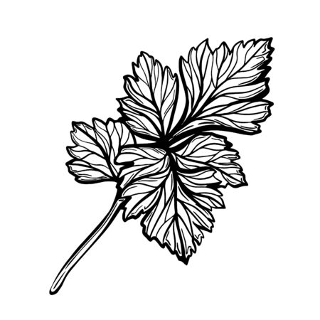 A sprig of parsley isolated on a white background. Parsley is a herb for a healthy diet. Spicy aromatic spice. Hand drawn vector illustration Ilustração