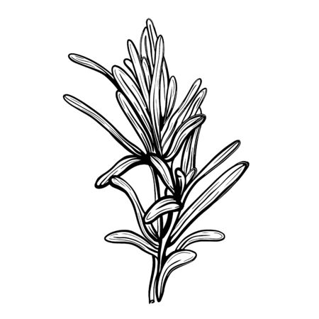 Rosemary isolated on a white background. Rosemary is a spicy spice. Vector illustration in the Doodle style. Vector illustration