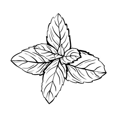 Peppermint leaves isolated on a white background. A sprig of mint with leaves. The herb Melissa is a spicy seasoning for brewing tea. Hand drawn vector illustration. Graphic drawing Ilustracja