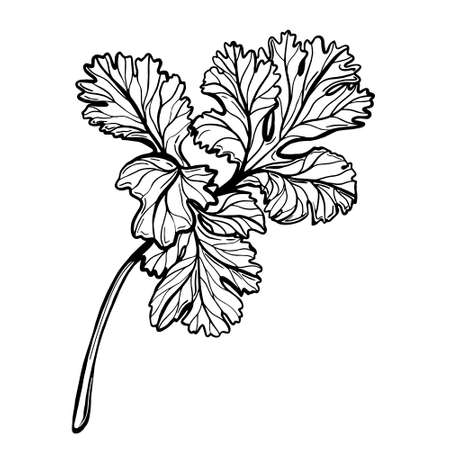 A sprig of parsley isolated on a white background. Parsley is a herb for a healthy diet. Spicy aromatic spice. Vector