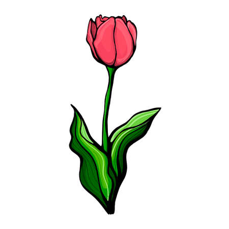 Sketch illustration with green hand drawn tulip stem.Tulip on a stem with leaves, isolated on a white background vector illustration. Botanical, floral design for postcards, textiles, printing