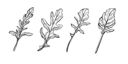 Arugula leaves isolated on a white background. Rucolla - fragrant, delicious greens.Italian herbs. Vector illustration in Doodle style