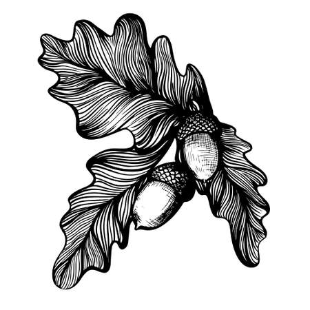 Oak twig with acorns hand drawn linear branch illustration