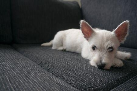 westie: puppy west highland white terrier Stock Photo