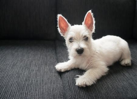 dog nose: puppy west highland white terrier Stock Photo