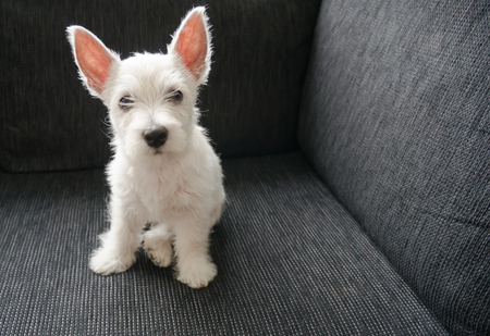 puppy west highland white terrier Banque d'images