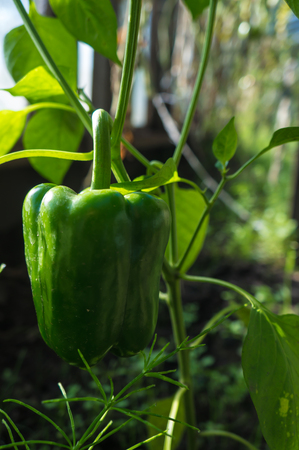 green pepper on a branch