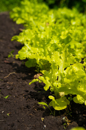 Lettuce in the garden