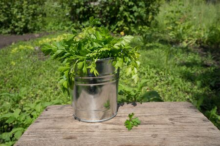Parsley in a metal bucket