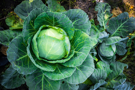 the cabbage: cabbage in the garden