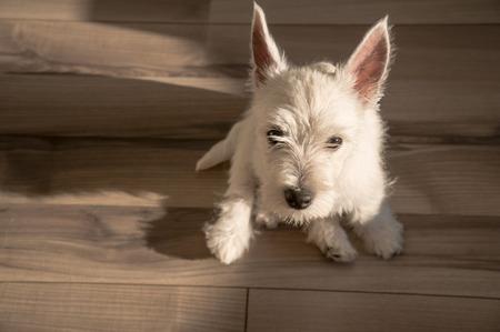 cute westie: puppy west highland white terrier Stock Photo
