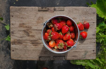 Strawberries in a bucket Stock Photo - 46578868