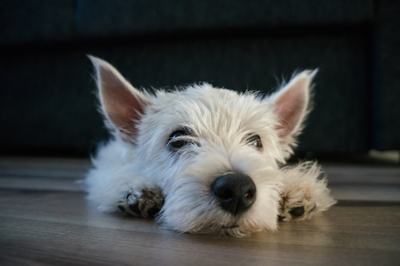 puppy west highland white terrier Stock Photo