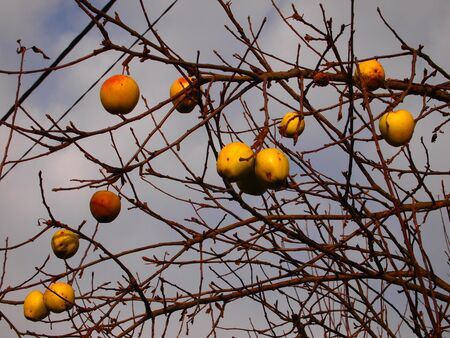 Yellow apples on tree without leaves, autumn.