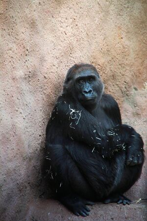 Sad adult gorilla sitting in front of the wall, zoo, Prague.