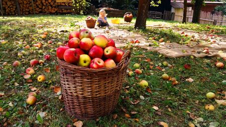 Full basket of apples in garden, in background a small boy eating one apple from ground. Banco de Imagens