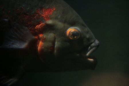 Head of black fish with orange places in deep water, Prague Zoo.