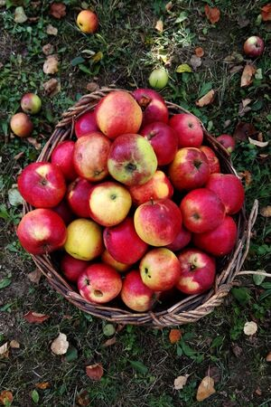 Harvested apples in a wicker basket, sight from above, basket is on the ground with leaves and small apples.