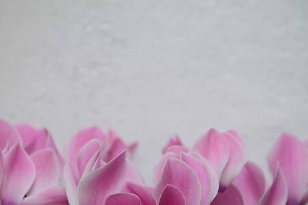 Beautiful indoor plant flower cyclamen (Cyclamen purpurascens) blossoming large pink soft flowers with white painted wall on background. Reklamní fotografie