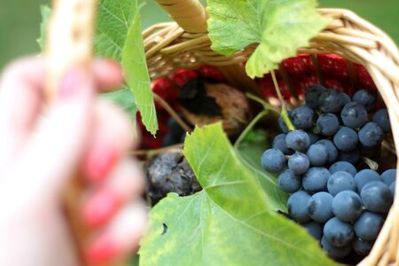 Woman hand with red nails holding small wicker basket with fresh harvested opaque blue grapes and wall nuts