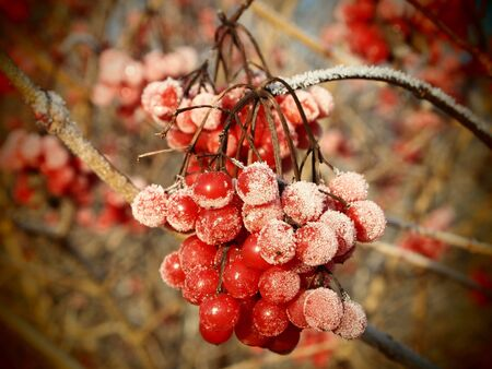 Red berries of viburnum with ice crystals, on brown background Banco de Imagens