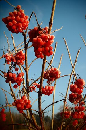 Red viburnum guelder rose berries in autumn wth frost cover on it