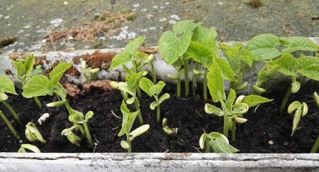 Small growing plants of beans growing in a natural color pot Stock fotó