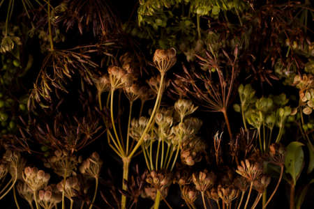 Ammi Majjus flowers on black bacground, autumn mood, perfect for funeral and topics with dead. Close up, zoom, detailed.