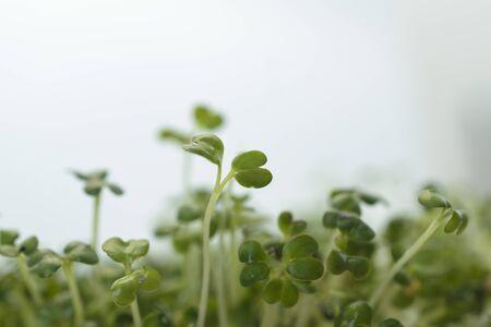 Spring background micro green, sprouts of flax. Archivio Fotografico