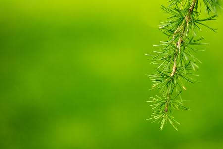 Fir-needles on the blur green background.
