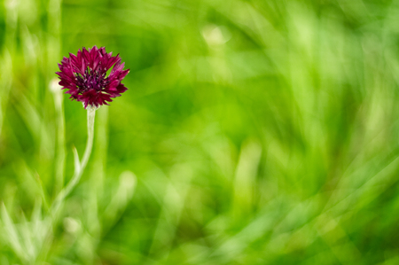 Bright flowers on the blur green background. Deep red cornflower also known as Centaurea cyanus or bachelor button.