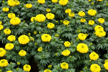 Marigold Garden photo