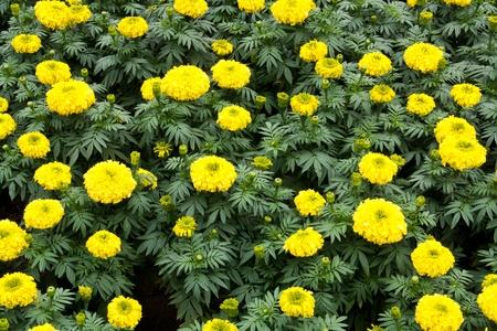 Marigold Garden photo