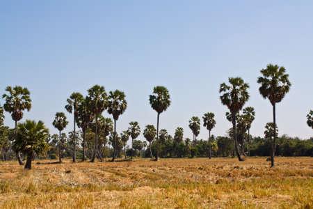 Palm tree with blue sky photo