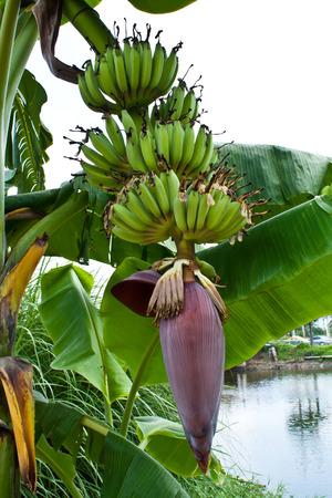 musa: Fruit and Inflorescence of Banana