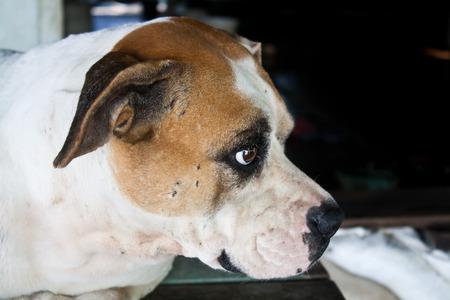 ojos tristes: Perro con Sad Eyes Foto de archivo
