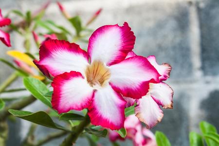 Beautiful Desert Rose Flower (Adenium sp.) in a Garden Stock Photo