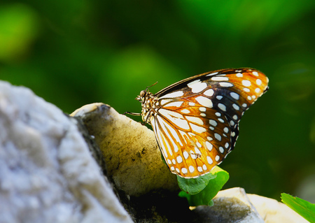 forewing: Beautiful butterfly in the garden Stock Photo