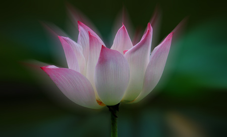Pink lotus flowers are beautifully blooming outdoors. Stock Photo