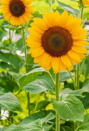 Sunflowers are blooming in the garden, the natural beauty of the season