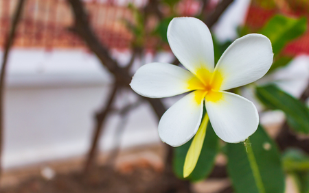 White frangipani flowers are blooming beautifully