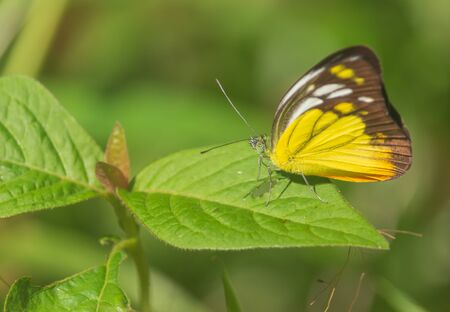 yellow-black butterfly on the leaves in the natural forest Stockfoto