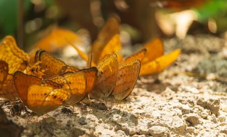 Butterfly are living minerals on the soil at Kaeng Krachan National Park Stockfoto
