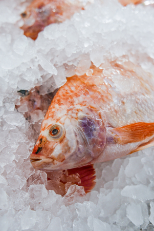 white nile: fresh white Nile tilapia,  Cichlidae fish cover with ice in market