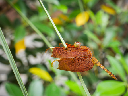 Red Grasshawk dragonfly (Neurothemis fluctuans), also known as Common Parasol is a dragonfly in the family Libellulidae. It is widespread in many Asian countries. Stock Photo
