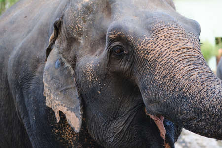 close up Portrait face of Asian elephant.